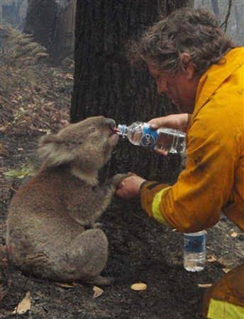 Photograph of individual giving water to koala bear