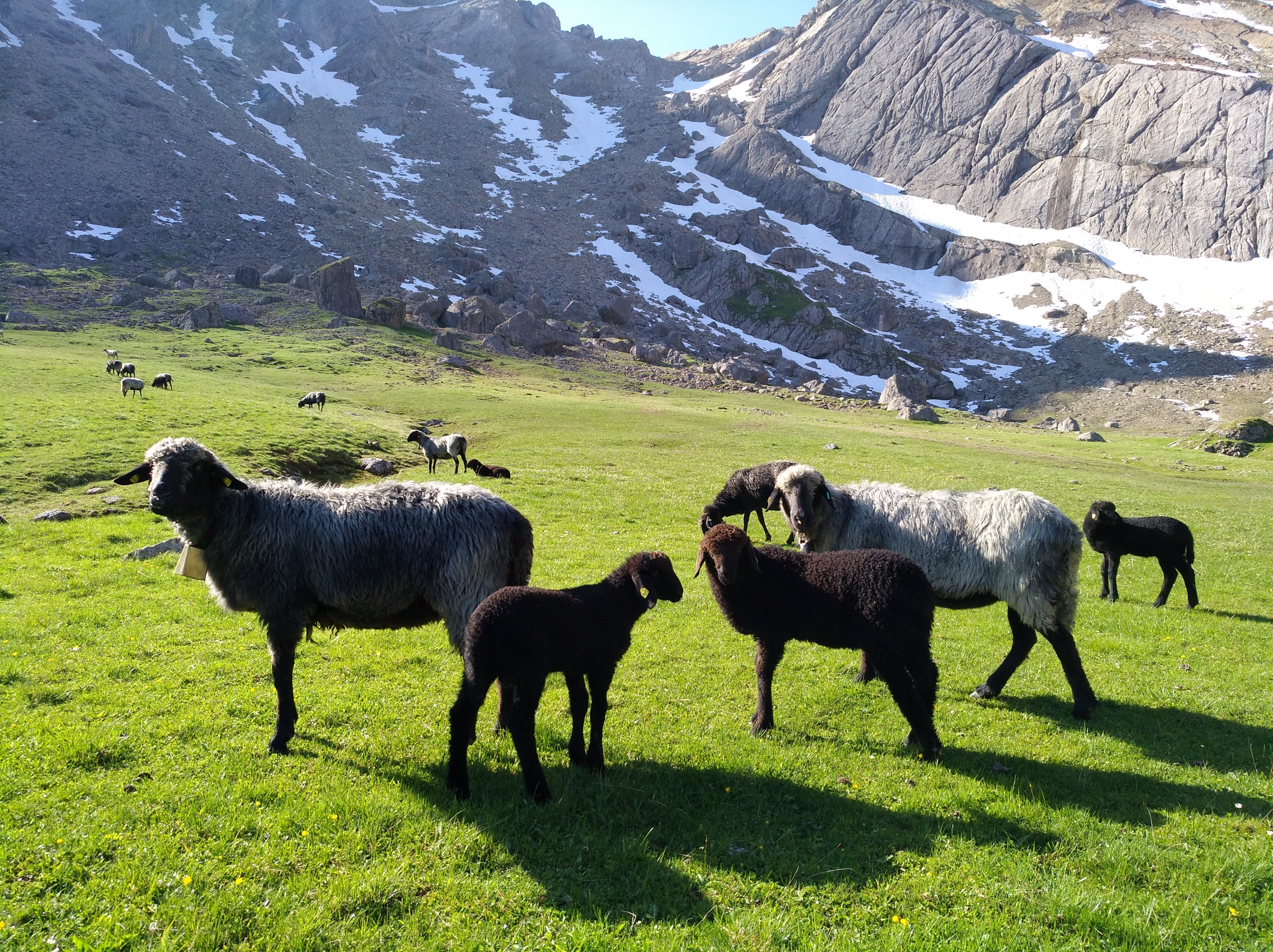 Stonesheep in Alpine Meadow
