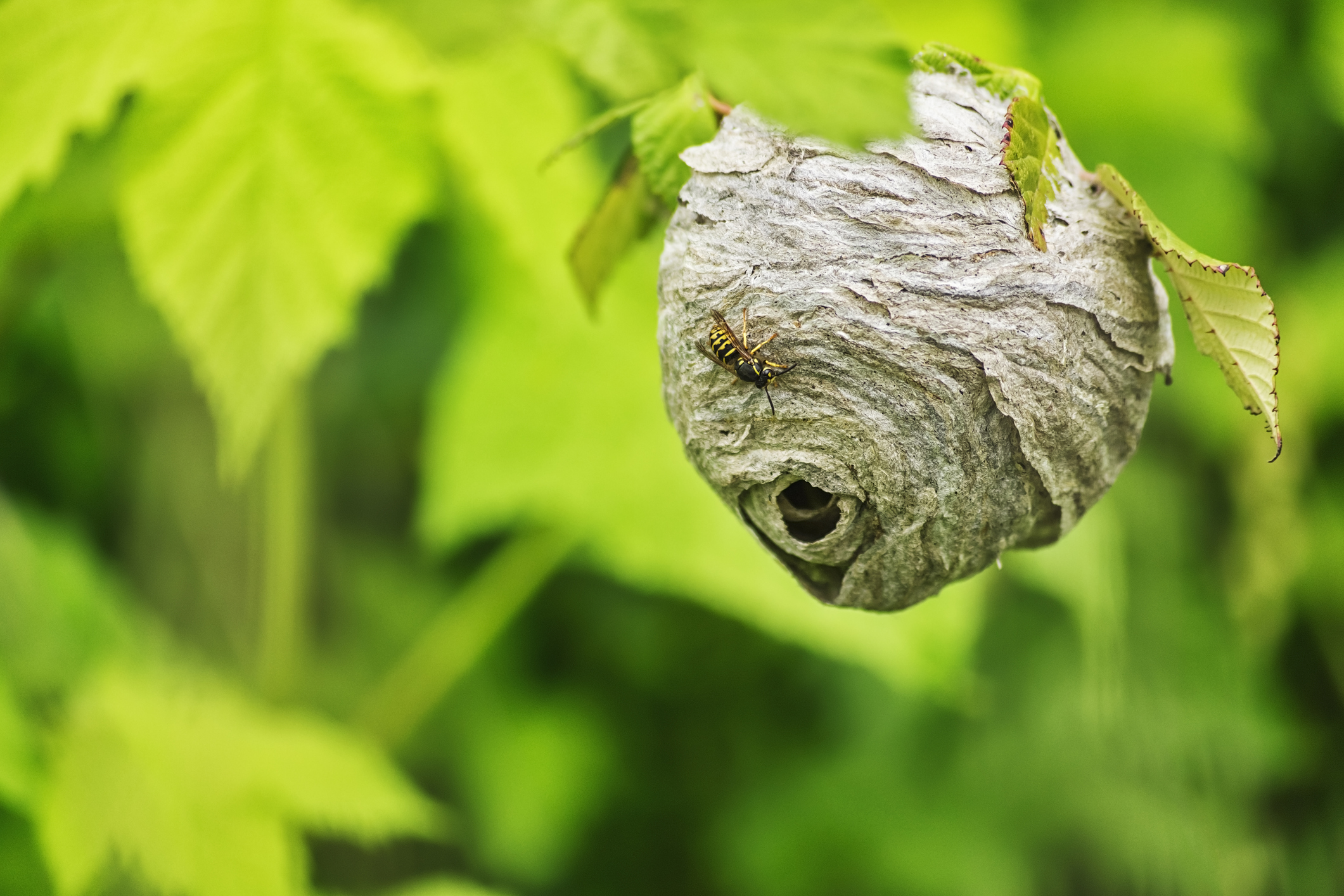 Yellow Jacket Nest in Trees